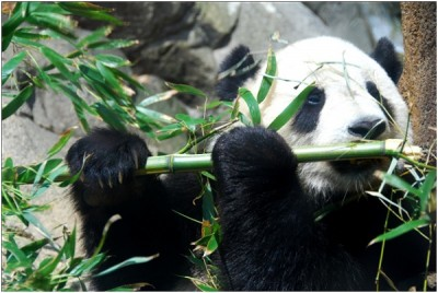 Amazing Facts About Pandas