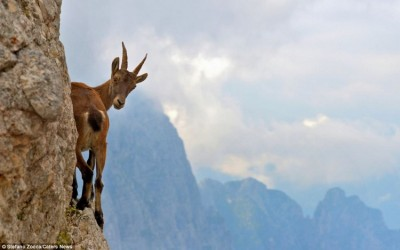 Photos of goats on cliffs