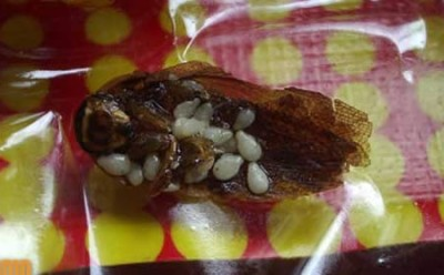 Cockroach in packet of GoldenBoy? truely disgusting!!